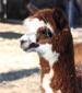 Royal Oaks Alpacas, LLC.